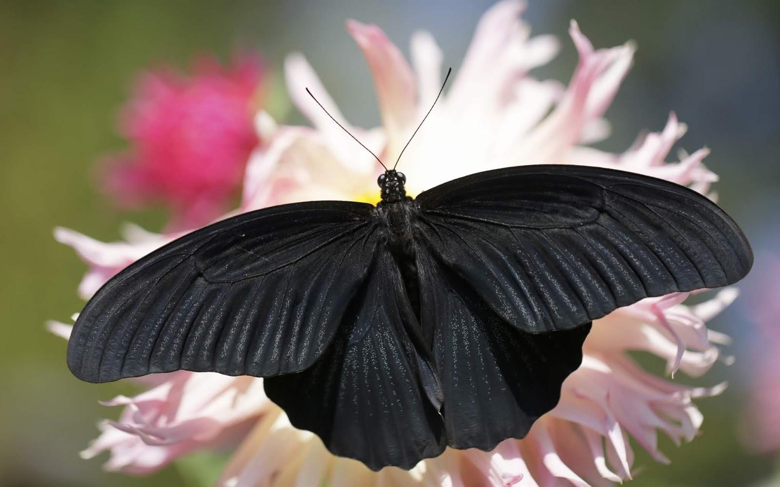 Os diferentes significados da borboleta preta. (Imagem: Internet)
