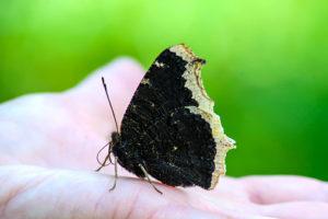 Os significados da borboleta preta. (Imagem: Internet)