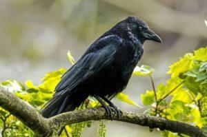 O corvo como imagem de luto. (Imagem: Internet)